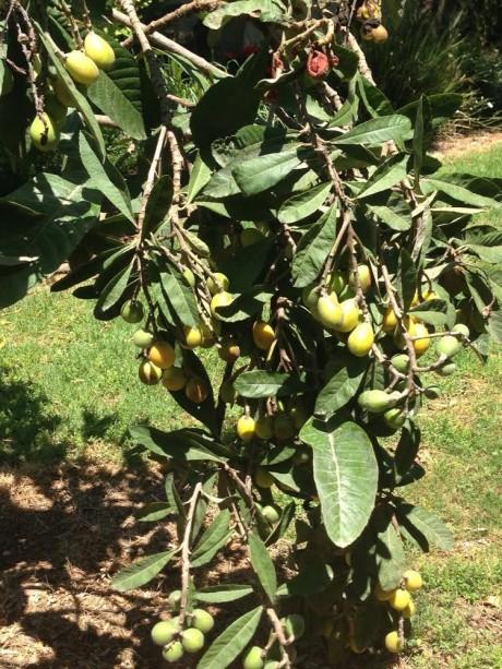 עץ שסק ירושה מהורי שנותן פרי בפעם הראשונה